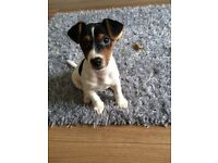 1 Year Old Jack Russel