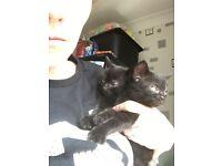 Black kitten -female