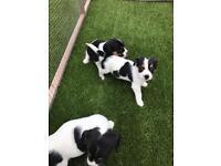 Cavalier King Charles x jack Russell. Cavajack puppies