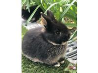 Baby Mini Lop x Rex Rabbits