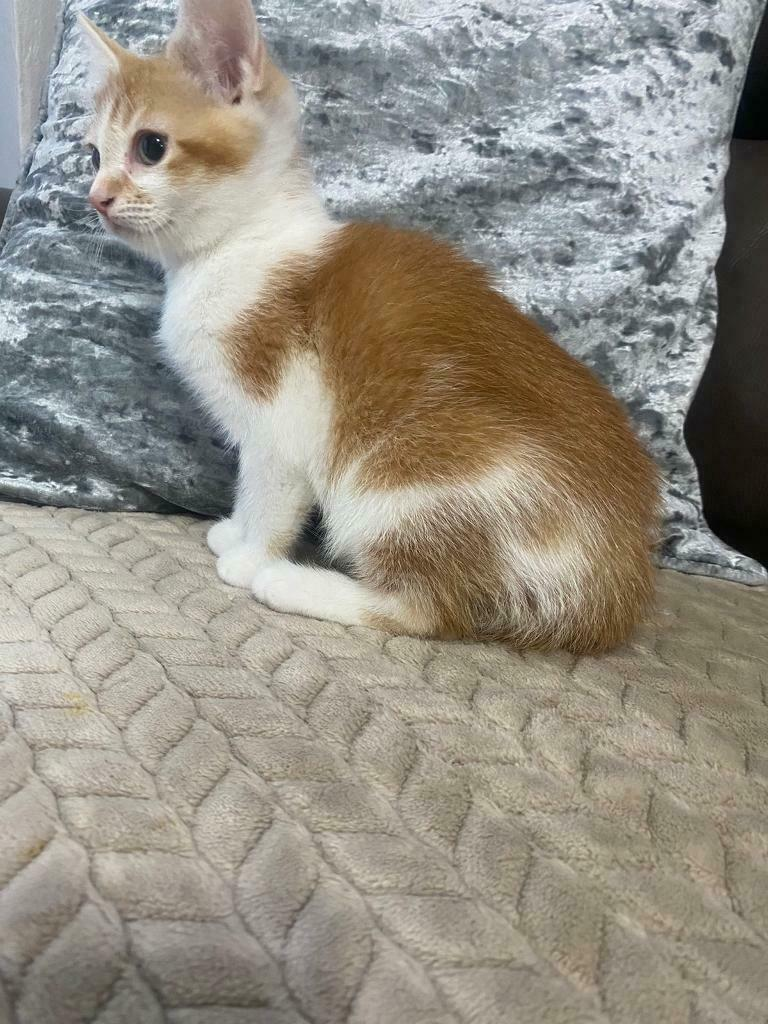 Beautiful Ginger And White Kitten In Handsworth West
