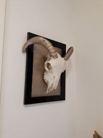 Art picture /sheep/ Halloween /taxidermy