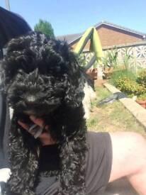 Cockerpoo puppy for sale