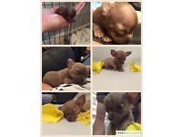 Male tiny chihuahua puppies for sale