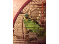 Beautiful Blue Fronted Amazon Parrot and Cage. ( Bird is 12 years old )