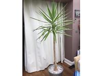 Yucca plant 6ft tall