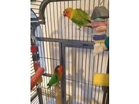 Love birds and cage for sale