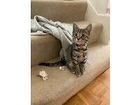 Tabby Kitten Female