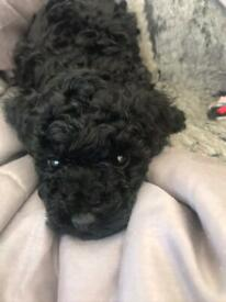 KC REGISTERED TINY TOY POODLE x 🐩