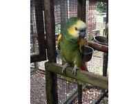 2 blue fronted amazon parrots