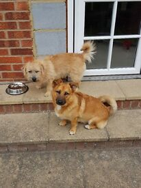 2 x brothers Pomeranian cross norfolk terrier
