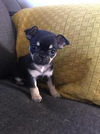 Chihuahua x pug