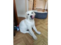 3 months old male Labrador puppy