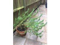 Rosemary plant in pot