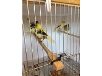 Fife canaries for sale *2018 birds*