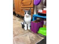 Two Kitten Siblings (1)Ginger (2)Grey&white