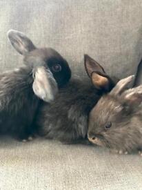 Baby lop ear bunnies