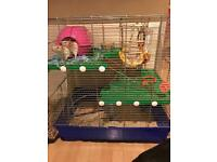 Male rats to good home with cage