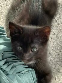 Very cute male Black British Shorthair Kitten