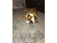 Female Bulldog looking for forever home