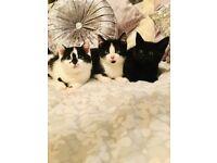 Sweet Bombay/BSH kittens