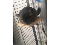 Male ebony chinchilla 😊😊