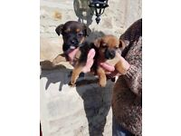 Jack Russell x Border Terrier Puppies