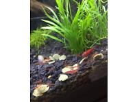Red Cherry Shrimp Bundle!