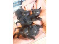 Short haired black kittens