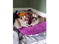 2 long haires female chihuahuas for sale
