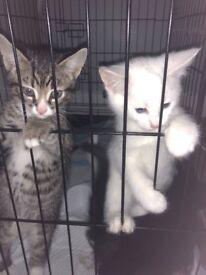 Beautiful 9 week old kittens for sale