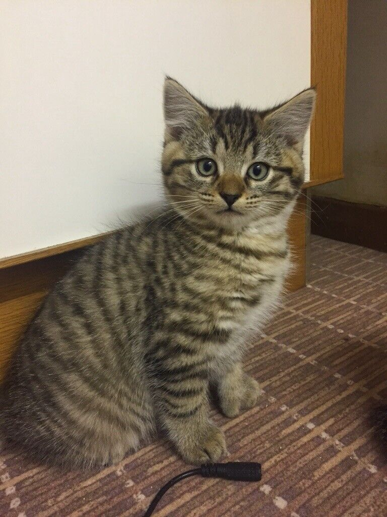 Polydactyl Maine Coon X Bengal Kittens | in Chelmsford, Essex | Gumtree