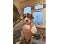 Jack russell puppies (parson)