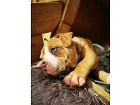 Alapaha blue blood bulldog I.A.B.B.R