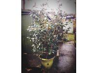 Camellia Tree/Bush £40 ONO