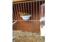 Canary hen bird yellow laced isabella rung.