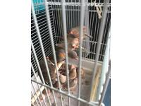 Zebra Finches for sale for