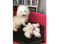 7 bichon frise puppies
