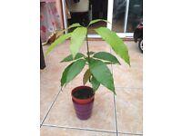 Very rare Mango plant!!!