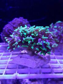 Australian Hammer Coral