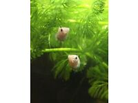 10 week old Balloon Molly Fish for sale - £2 each