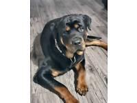 Rottweiler 21 months beautiful dog