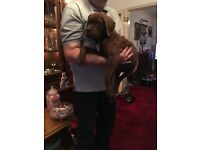 French mastiff x bull mastiff pups for sale ready now full vaccinated chip register