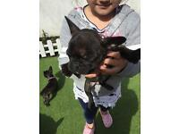 KC registered French bulldog mini girl