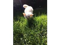 Lovely white kitten looking for new home