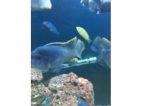 Blue acei malawi cichlid fish for sale
