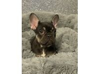 Ready Now Stunning French Bulldog Quad Puppies