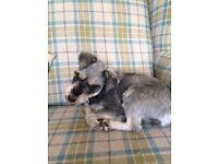 7yr old female Miniature Schnauzer dog