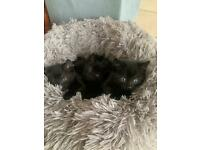 X 3 black kittens 2 male 1 female