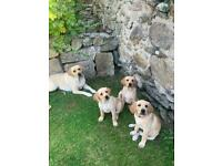 3 Female IKC Registered Labrador Pups